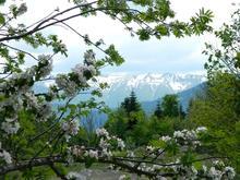 Цветущая яблоня, на пути к горе Оштен