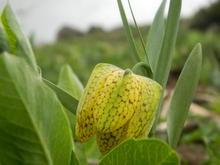Дикие тюльпаны на подступах к Нагой-Кош в мае