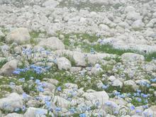 Поля альпийской незабудки на просторах г. Фишт