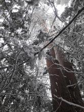 Сосновник с тисовым подлеском, нагорье Лаго-Наки, фото 23.03.2019