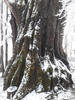 Многовековой тополь в пределах нагорья Лаго-Наки, фото 23.03.2019г.