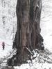 Многовековой тополь, нагорье Лаго-Наки, фото 23.03.19